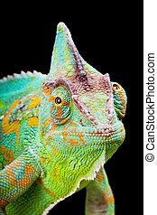 Yemen Chameleon - Yemen or Veiled Chameleon sitting on a...