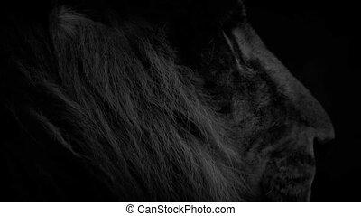 yeux, autour de, résumé, lion, regarde, ardent
