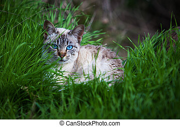 yeux bleus, chat