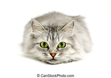 yeux, chat vert