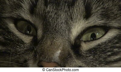 yeux, chat