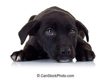 yeux, chiot, errant, peu, chien, noir, triste