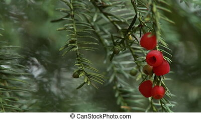 Steady, medium close up shot of yew berries on a Taxus baccata tree.