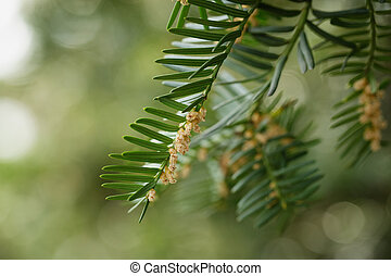 Yew or Taxus baccata green leaves and flowers