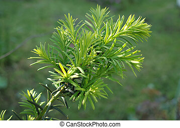 Yew tree (Taxus cuspidata). Young growing branch of Japanese...