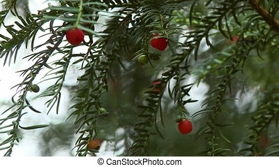 Steady, medium close up shot of a yew tree (Taxus baccata) with arils hanging on the branches.