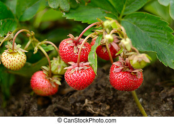 Yield of Strawberries - Bunch of ripe strawberries over...