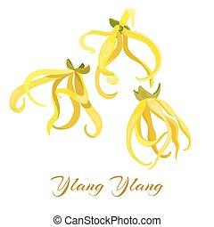 ylang-ylang, tropische bloem, illustratie, cananga, vector, ...