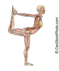 yoga, skelet, hen, positur, -, baldamen, muskel