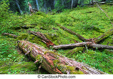 Forest floor of Yoho National Park in British Columbia - Canada.