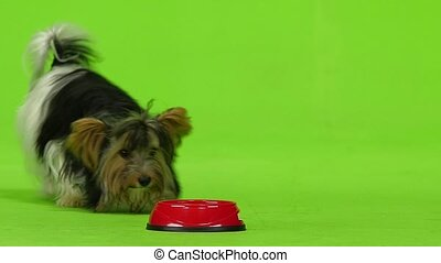 York is eating out of red dishes. Green screen. Slow motion
