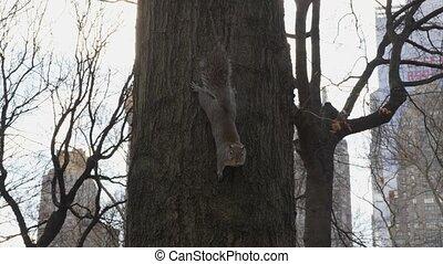 york, parc, écureuil, nouveau, central