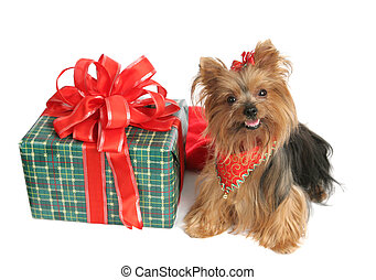 Yorkie Christmas - An adorable yorkshire terrier dog with a...