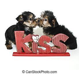 yorkie, hundebabys, küssende