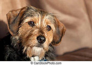 Yorkie Mix Dog - Portrait of a young yorkshire terrier...