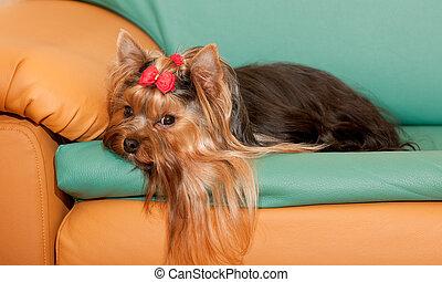 yorkie, simpático, sofá