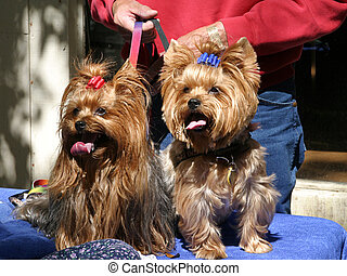 Yorkie Twins - Two adorable yorkies together on leashes.