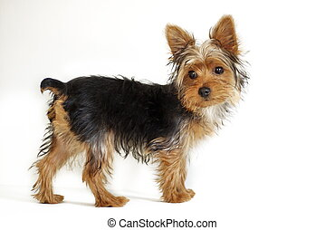 Yorkie - young Yorkshire Terrier puppy against white...