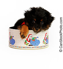 Yorkipoo Puppy in Christmas Tin