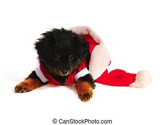 Yorkipoo puppy in santa suit and cap