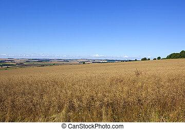 yorkshire canola crop