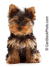yorkshire terrier puppy, white background