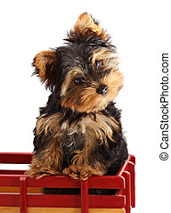 yorkshire puppy - young pure breed Yorkshire puppy, isolated...