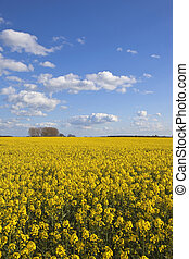 yorkshire rape seed crop - a bright yellow rape seed crop in...