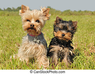 yorkshire terrier and puppy - portrait of a female yorkshire...