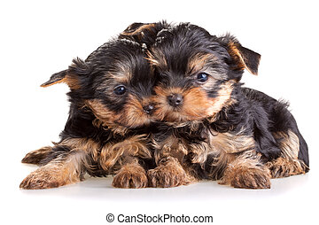 yorkshire terrier, chiots