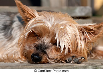 Yorkshire Terrier closeup
