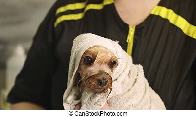 Yorkshire terrier dog covered with a towel