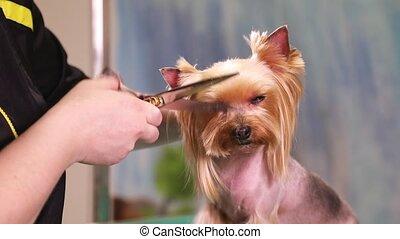 Yorkshire terrier dog grooming - Groomer using scissors to...