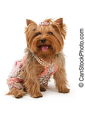 Yorkshire Terrier Dog in Fancy Clothes