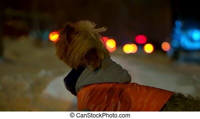 Yorkshire terrier dog in orange down jacket got lost on a snowy city street at night. He found the owner and barks