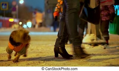 Yorkshire terrier dog in orange down jacket got lost on a snowy city street at night. He found the owner and happy