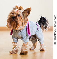 Yorkshire Terrier dog in overcoat indoor - Portrait of...
