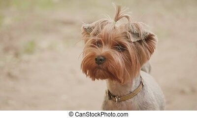Yorkshire terrier dog looking at the camera in a head shot slow motion video, against a brown background. pet dog concept lifestyle