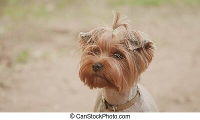 Yorkshire terrier dog looking at the camera in a head shot slow motion video, against a brown background. lifestyle pet dog concept