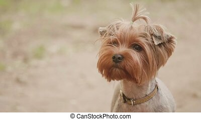 Yorkshire terrier dog looking at the camera in a head shot slow motion video, against a brown background. pet lifestyle dog concept