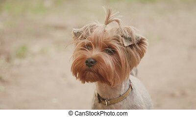 Yorkshire terrier dog looking at the camera in a head shot slow motion video, against a brown background. pet dog lifestyle concept