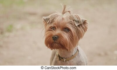 Yorkshire terrier dog looking at the camera in a head shot slow motion video, against a brown background lifestyle. pet dog concept
