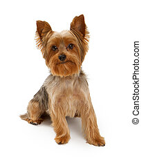 Yorkshire Terrier Dog on White - An adorable young Yorkshire...