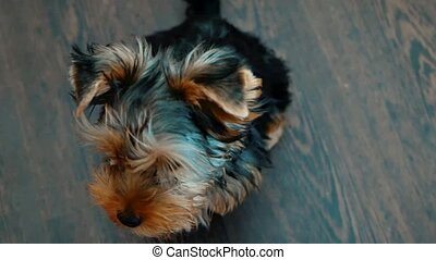 yorkshire terrier dog pet indoors sits on the floor a little sweetie. Front view of a Yorkshire Terrier sitting concept lifestyle