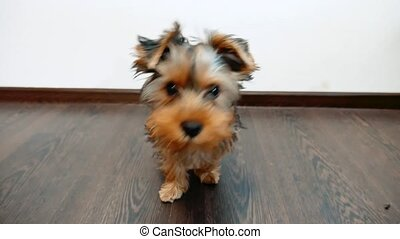 yorkshire terrier dog pet indoors sits on the floor a little sweetie. Front view of a Yorkshire lifestyle Terrier sitting concept