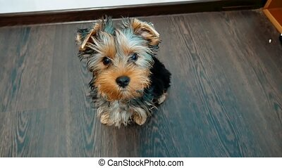 yorkshire terrier dog pet indoors sits on the floor a little sweetie. Front view of a Yorkshire Terrier lifestyle sitting concept