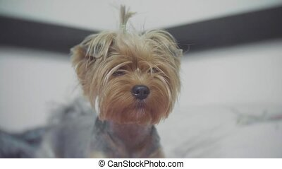 yorkshire terrier dog pet sitting on the bed indoors. shaggy...