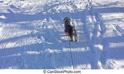 Yorkshire Terrier dog running through the snow winter joy...