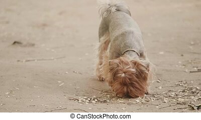 Yorkshire terrier dog Sniffs on the ground looking for a dog...