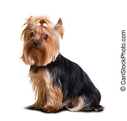 Yorkshire Terrier dog - Portrait of small Yorkshire Terrier...